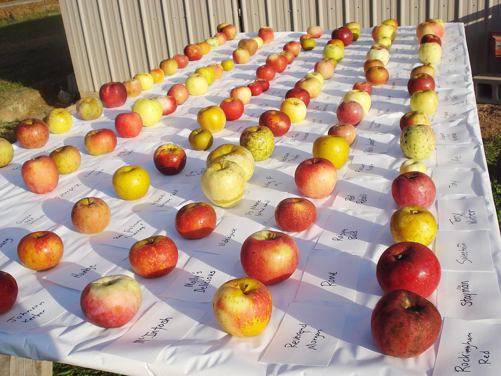 A display of apple varieties grown at Century Farm Orchards through the Chatham 250 project.